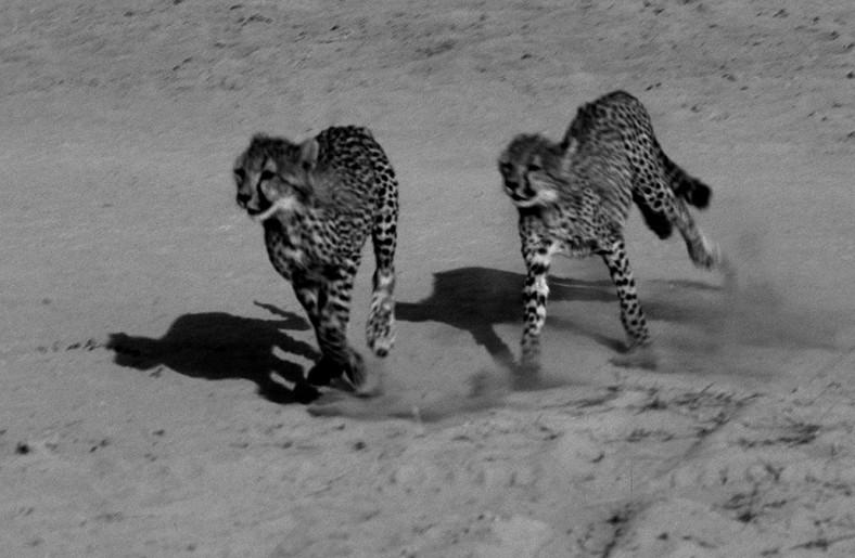 kenia savana ghepardi